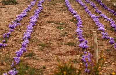 Bientôt nouvelle récolte du Safran